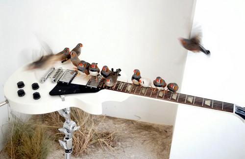 Oiseaux sur Guitare